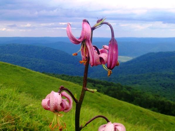 Lilia złotogłów na górze Smerek (fotowiersz)